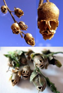 Snapdragon seed pods which look like skulls (or members of Slipknot, depending on which pic you Google)